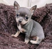 Chihuahua in Sonderfarbe