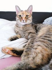 getigerte Katze vermisst