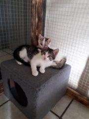 Perser Mix Kätzchen
