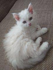 Perser Mix Babykatze ab sofort