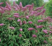 violetter Sommerflieder ca 2 50