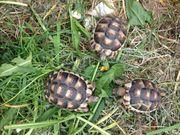 Wunderschöne Breitrandschildkröten von 2018 Landschildkröte
