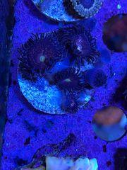 Zoanthus Alien Explosion - 8 Polypen