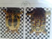 Griechischen landschildkröten