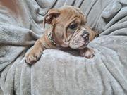Old Englishe Bulldog