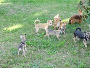 Süsse Chihuahuas suchen Traumzuhause