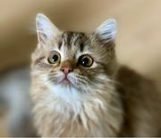 Kitten ab sofort abzugeben in