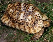 Pantherschildkröte Stigmochelys pardalis - Tausch Zuchtbock