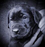 Wunderschöne Labradormix Welpen