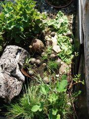 Griechische Landschildkröten TH THB