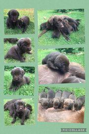 Süße braune Labradorwelpen reinrassig