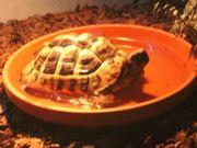 Verkaufe Weibliche Landschildkröte inklusive Terrarium