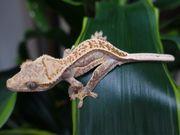 Kronengeckos Correlophus ciliatus