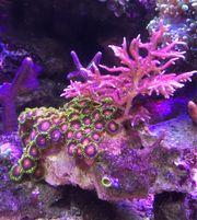 Korallen Ableger auf Lebendgestein