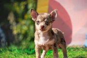 Süßer KH Chihuahua Bube mit