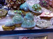 Koralle Fungia Blau Meerwasser Salzwasser