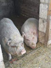 Schweine zur abgabe