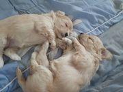 Maltipoo Welpen Baby Hunde