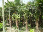 Palme Hanfpalme Trachycarpus Fortunei 250