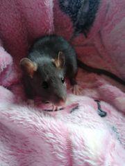 ich verkaufe meine 5 Rattenmännchen