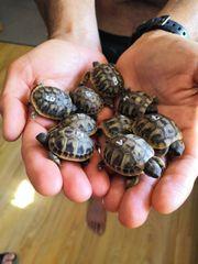 Griechische Landschildkrötenbabies NZ 2019 mit