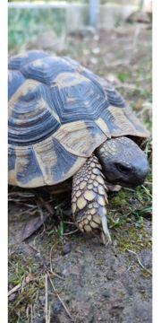 weibl Landschildkröte THB von 2008