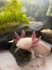 Axolotl Weibchen