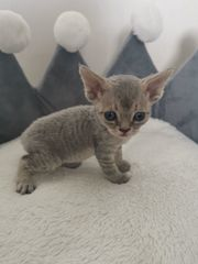 Devon Rex Kitten blau mit