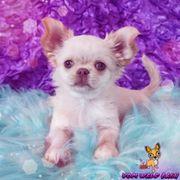 Ein kleiner Chihuahua Engel Mädchen