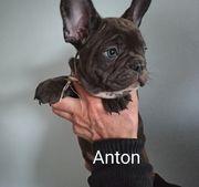 Französische Bulldogge Welpen mit Ahnentafel