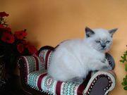 Britisch Kurzhaar BKH Kätzchen Farbe