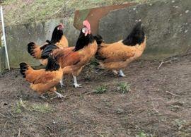 Bruteier Vorwerkhühner Lakenfelder Barnevelder: Kleinanzeigen aus Stelle - Rubrik Vögel