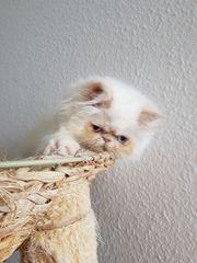 Perser Kätzchen Colourpoint 2 5