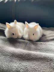 Löwenkopf Kaninchen Babys