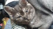 BKH süß Kitten zwei mal
