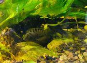 Aquarium Barsch Zebrabuntbarsch