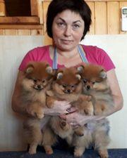Pomeranian Zwergspitz Mädchen - Hündinwhatsapp 4915-211447-907