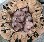Kanadischen Sphynx Katzenbaby