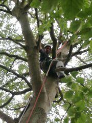 Professionelle Baumfällung mit Seilklettertechnik zur