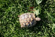 2 jährige griechische Landschildkröten mit