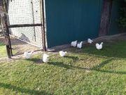 Zwergseidenhühner weiß