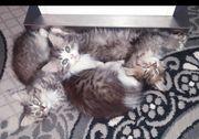 Perser Ragdoll Kitten