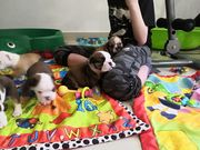 Englische Bulldogge Welpen zu verkaufen