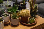 Zimmerpflanzen Jungpflanzen Aloe Vera Grünlilie