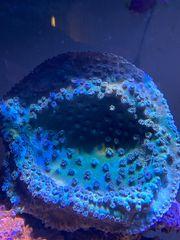 Kelchkoralle turbinaria Ableger Korallen Korallenableger