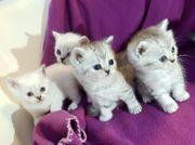 Reinrassige Britisch Kurzhaar Kitten