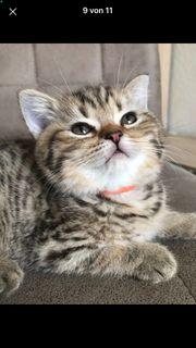 Bkh Kitten Vater reinrassige Bkh