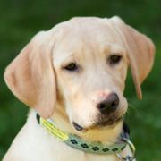 Happy Milly 5 Monate - Labrador -