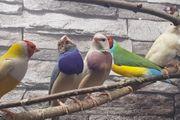 Gouldamadinen verschiedene Farben
