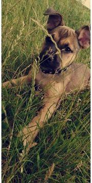 Oldenglisch Bulldogge Schäferhundmix